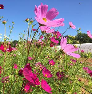 fleurs de cosmos - graine bio - La Semence Bio