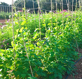 Haricot graine- Semence Bio -AGROSEMENS