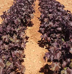 Périlla - ferme semencière bio AGROSEMENS
