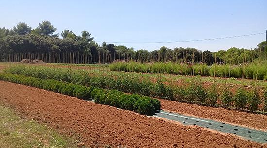 plein champ - semence bio - AGROSEMENS