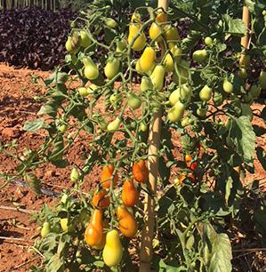 tomate- Semence Bio -AGROSEMENS