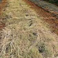 ferme semenciere - paillage desherbage- AGROSEMENS