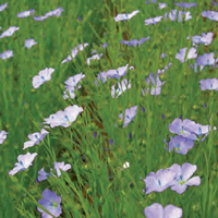 lin bleu semences bio agrosemens