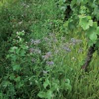 vitivert engrais vert bio agrosemens