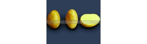 Pomme de terre jaune