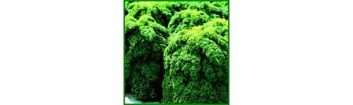 Chou Frisé non Pommé (Kale)